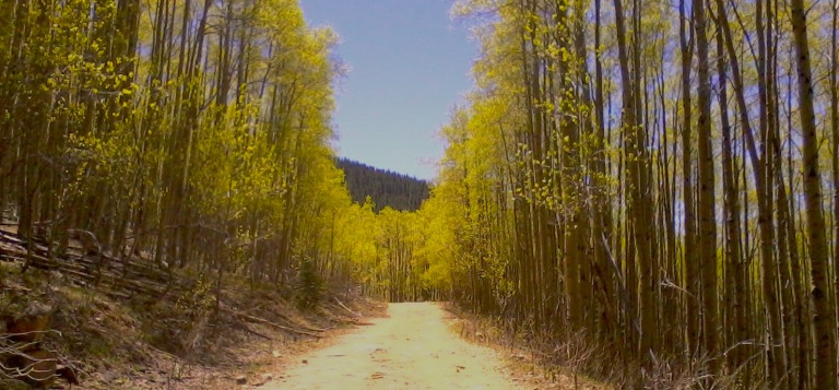 dirt road flanked by aspen trees
