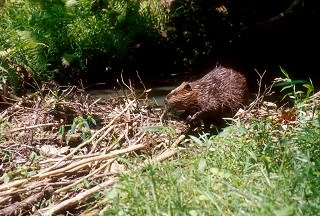 beaver building dam