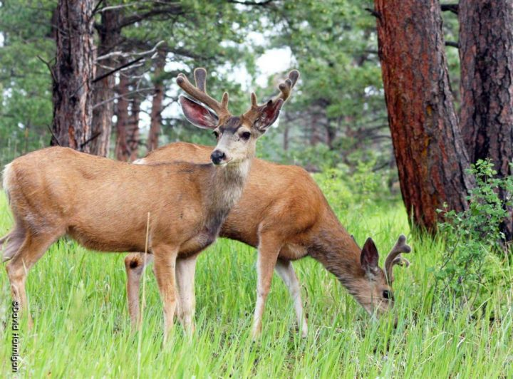 Why are Colorado's Deer Populations Declining?