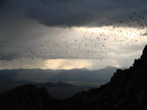 Mexican freetail bats in Southwest Colorado