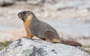 yellow-bellied marmot Colorado