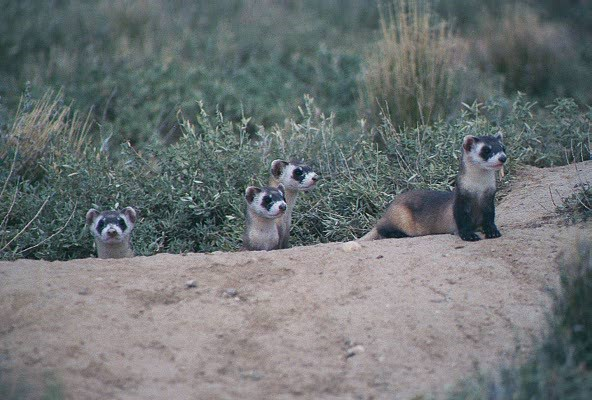 family of black-footed ferrets