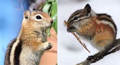 striped ground squirrel and chipmunk
