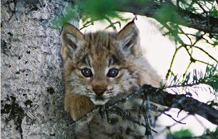 Two Decades of Lynx Reintroduction in Colorado