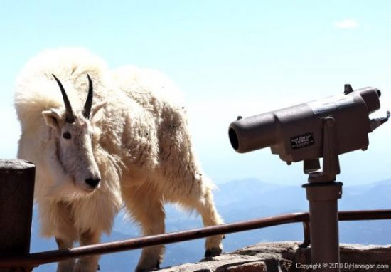 When and Where to View Mountain Goats