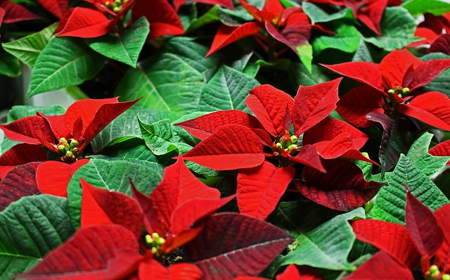 Poinsettias – A Holiday Tradition