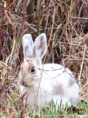 A snowshoe hare in spring, transitioning from its white winter coat.